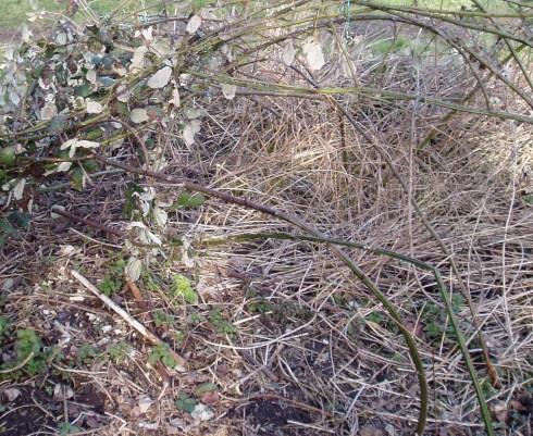 over grown blackberry plot